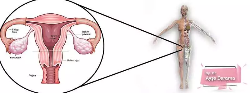Kadın Genital Organları